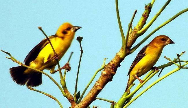Gambar Cara Merawat Burung Gaok