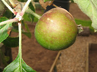elspan apple