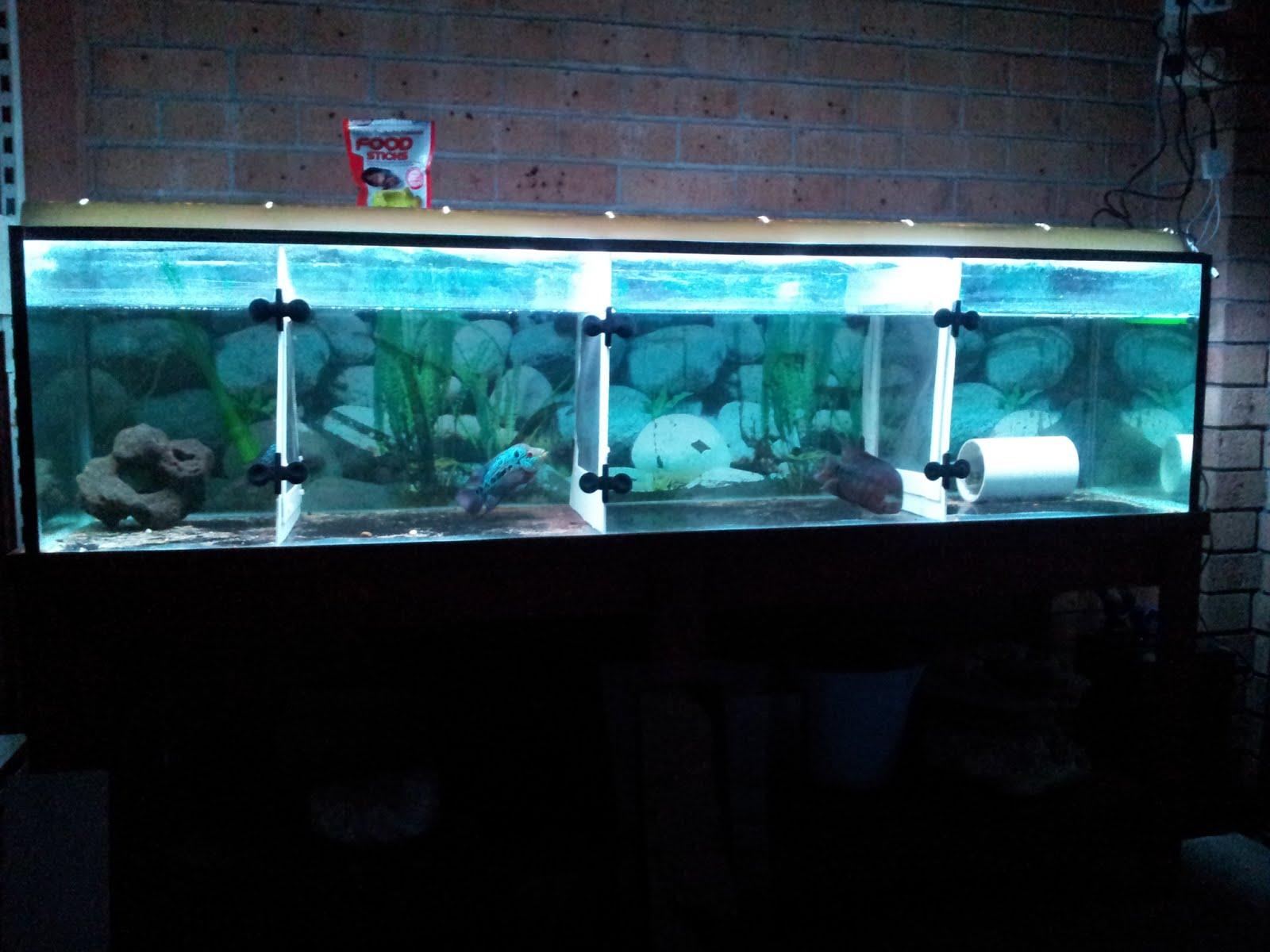 Pencahayaan Akuarium Ikan Louhan