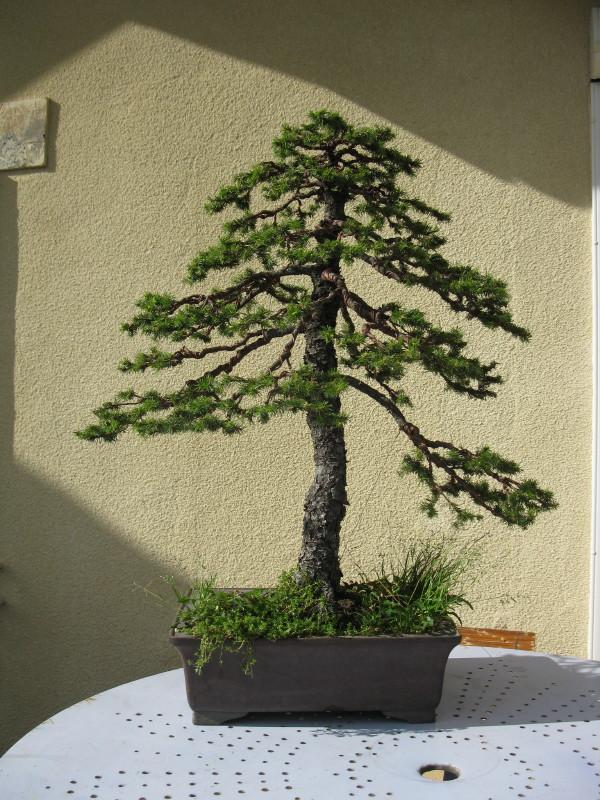 matsu bonsai epicea. Black Bedroom Furniture Sets. Home Design Ideas
