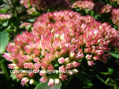 Autumn Joy-Sedum-macro