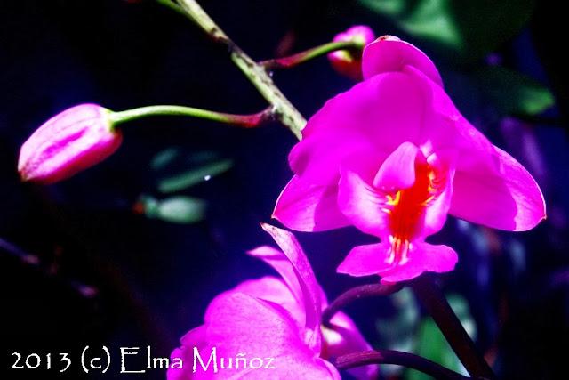 Bletia catenulata. Orquideas fotos de Elma Muñoz
