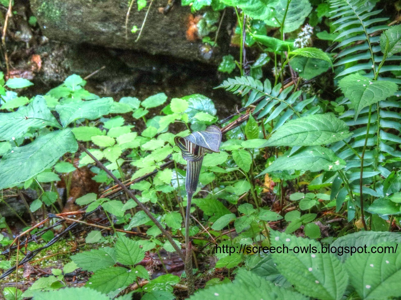 backyard birding and nature jack in the pulpit one of my