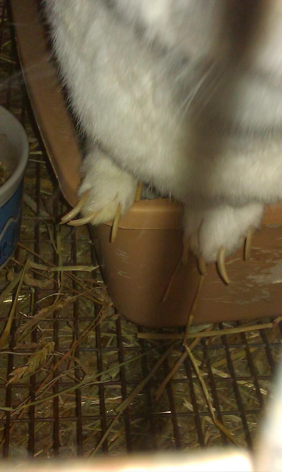 Kuku kelinci