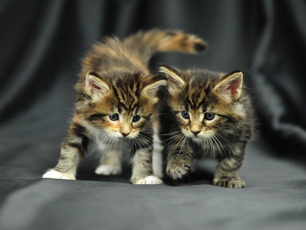 Cute maine coon kitten and cute puppy together cute maine coon