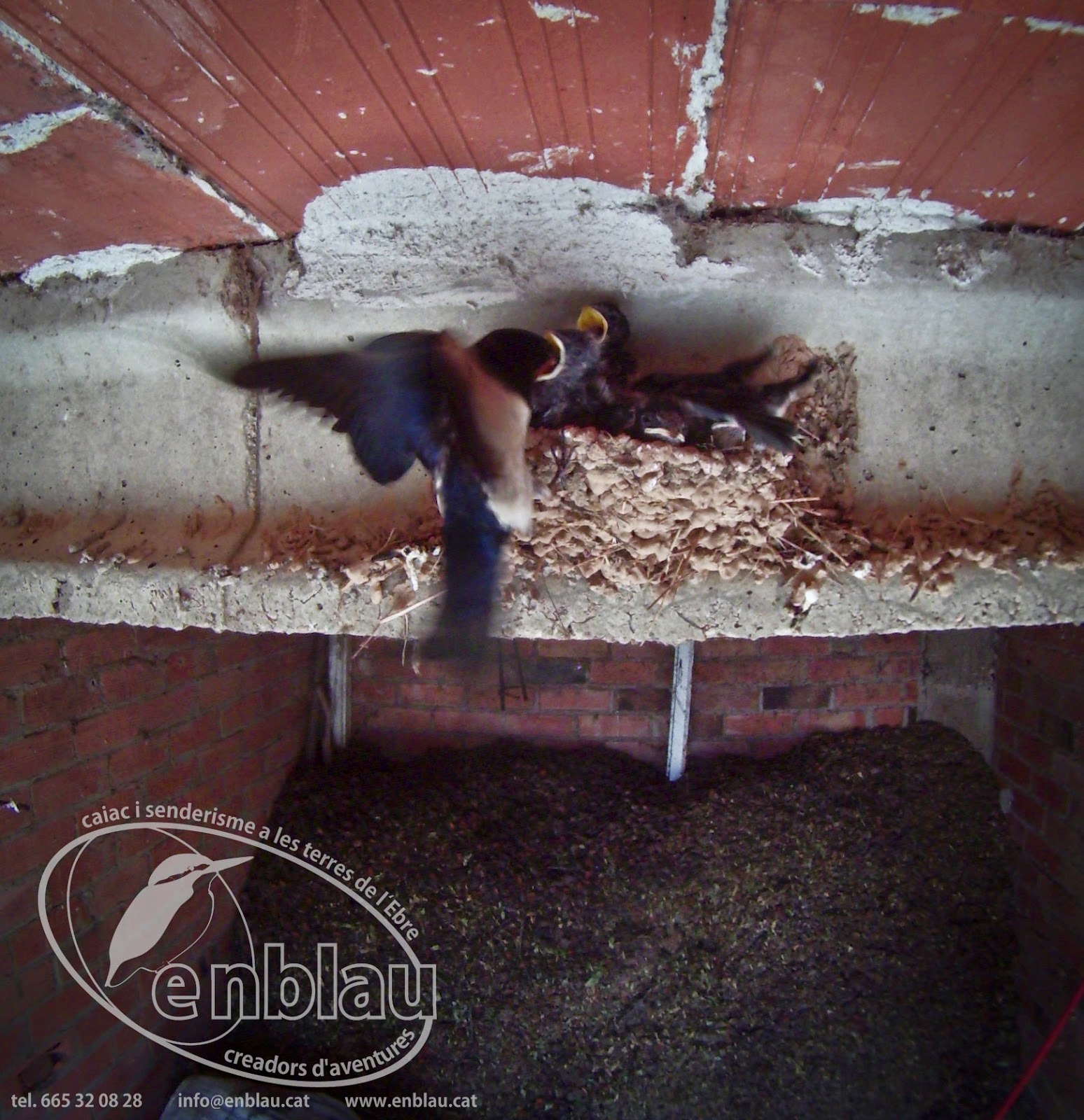 oreneta comú alimentant les seves cries