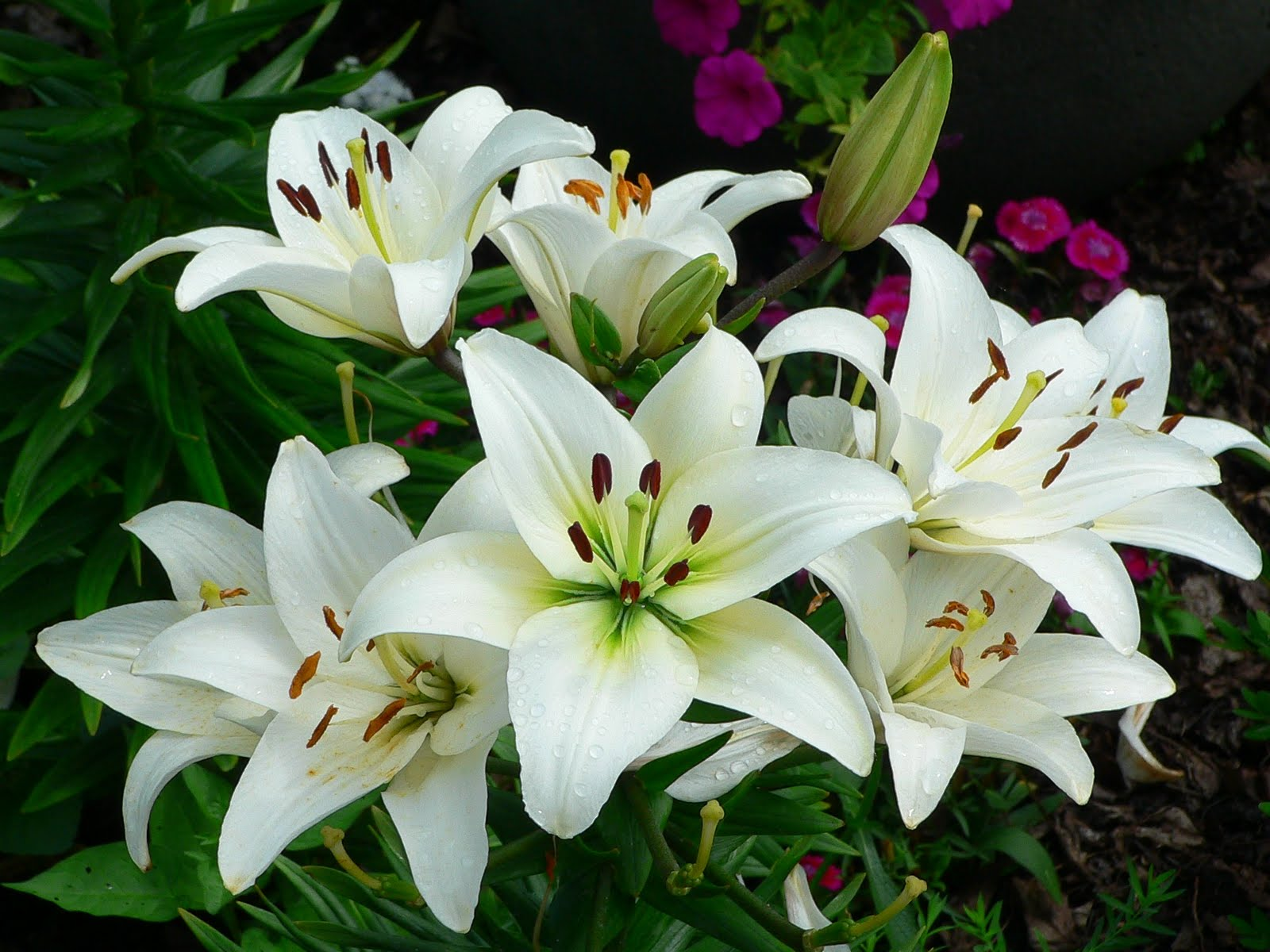about the lily flower and plant cultivation method lily right, Beautiful flower