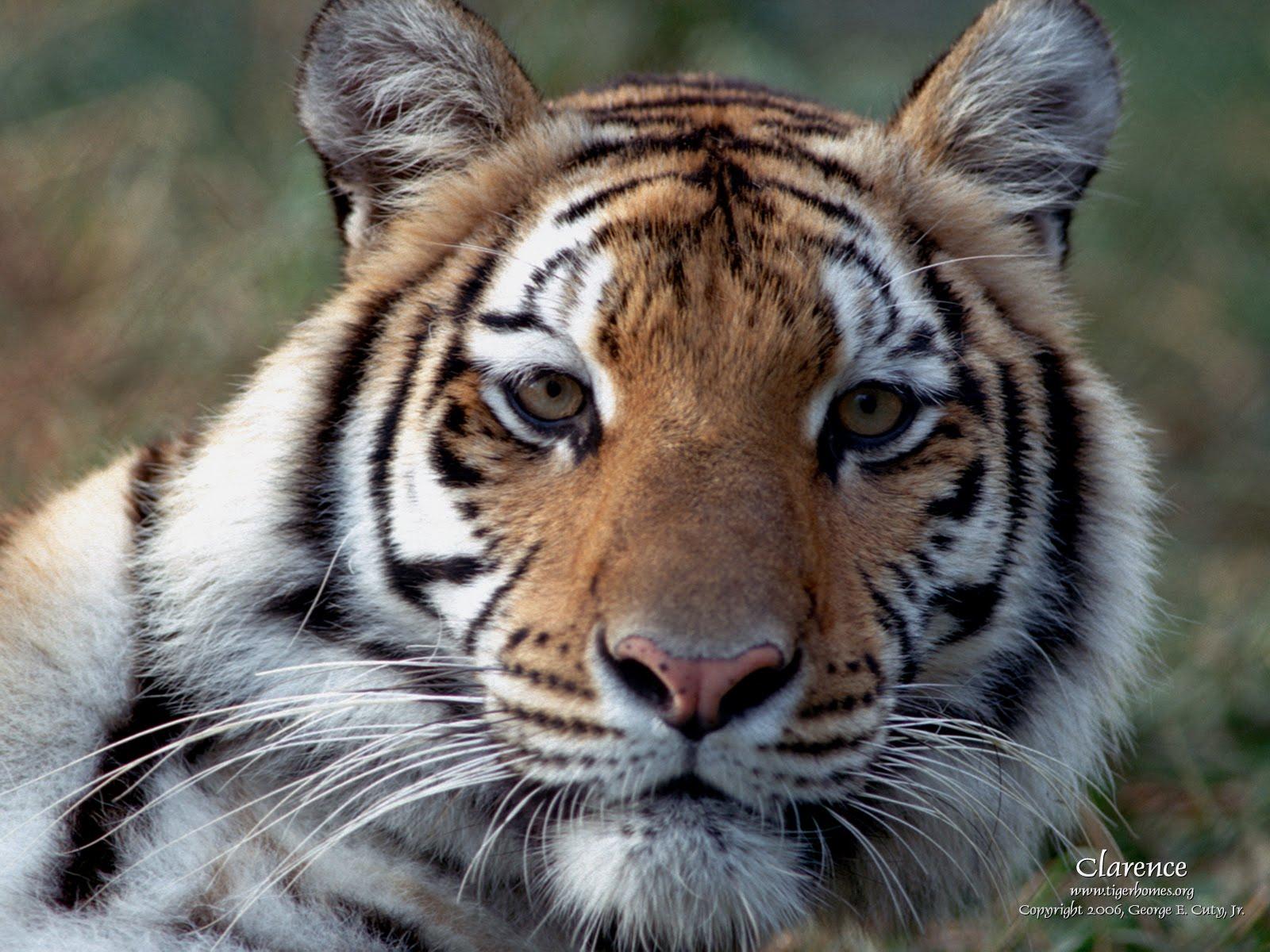 bengal tiger images