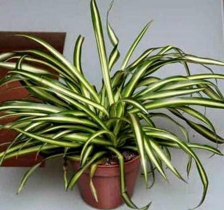 tanaman-hias-indoor-spider-plant