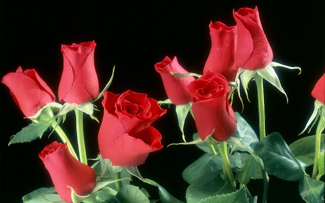 Bunch of Beautiful Red Roses Collections...