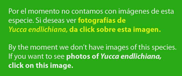 http://www.succulentguide.com/cactus/?genus=Yucca&species=endlichiana