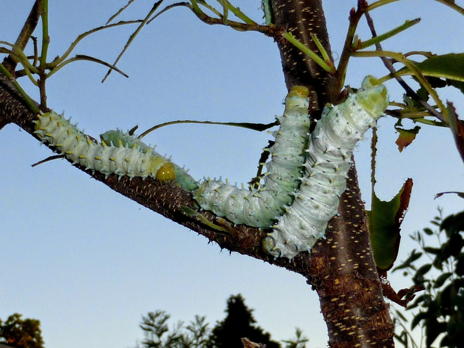 Samia ricini caterpillar