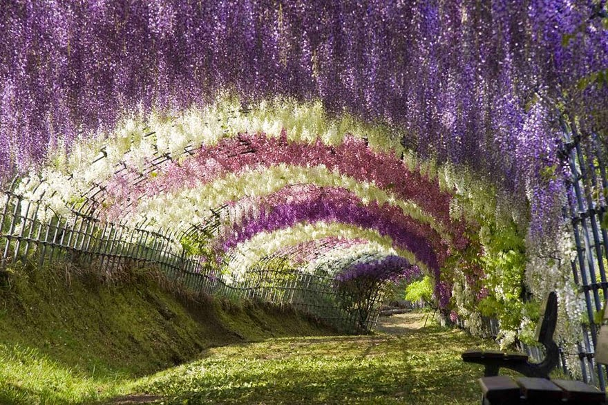 Wisteria Flower Tunnel Japan