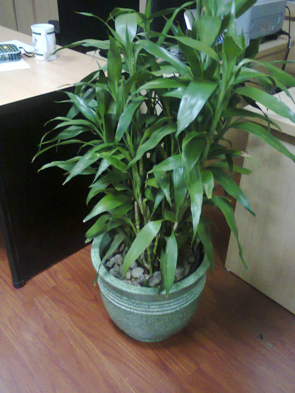 Sewa tanaman bambu sri rejeki dengan daun bervariasi Telp. 021-70057111, 08561577500