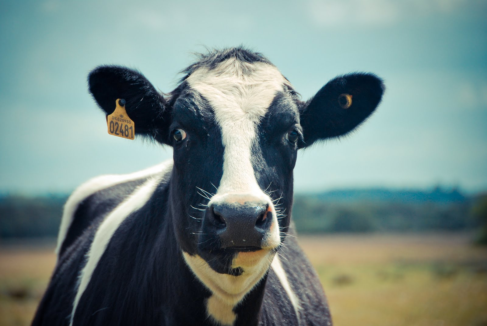 related pictures cute cows - photo #43