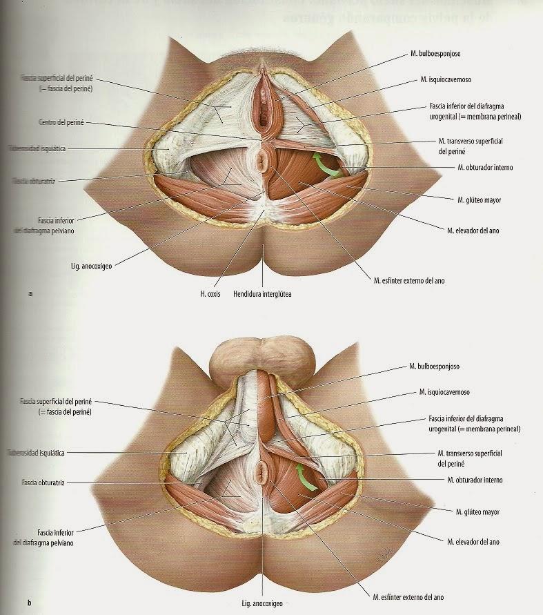Excepcional Masculinos Anatomía Del Suelo Pélvico Imágenes ...