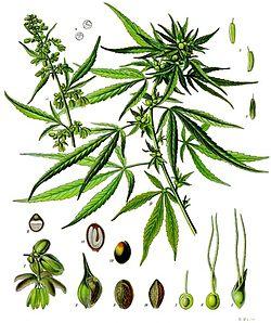 Cannabis y psoriasis