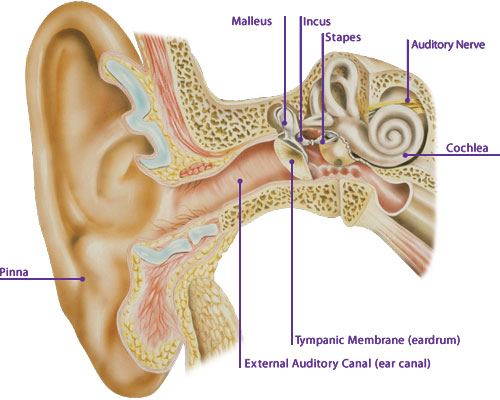 Ear Tympanic Membrane : Medical transcription the ear canal