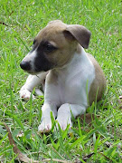 Whippet Puppy Photos