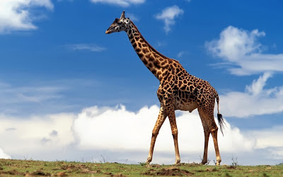 Download Giraffe HD Wallpapers