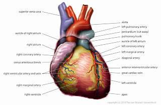 Image showing the anatomy of human heart