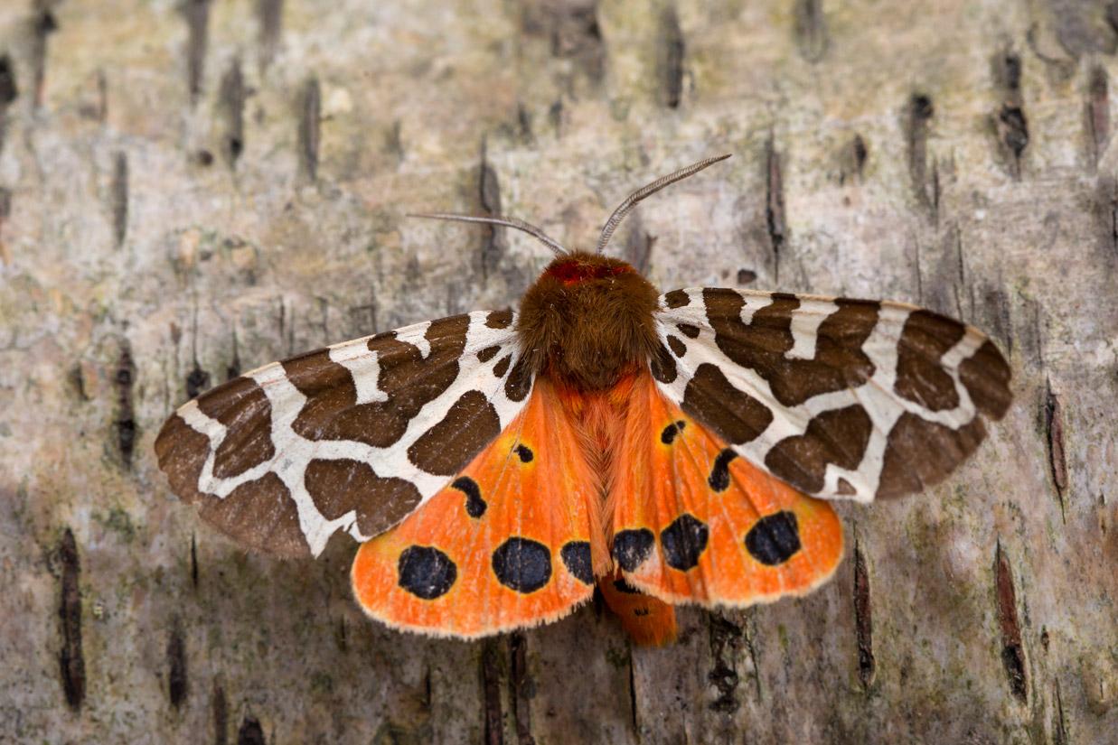 Darley Dale Wildlife: Garden Tiger - threat display