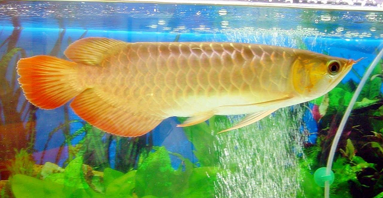 gambar foto ikan arwana
