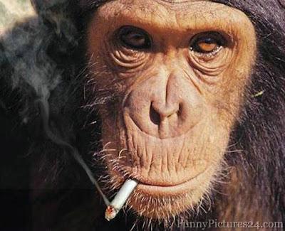 Foto Monyet Merokok Lucu - Yup, inilah foto monyet atau