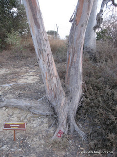 The lower part of the eucalyptus tree, branching from the base