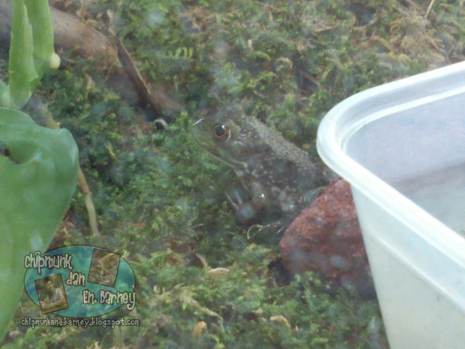 gambar katak - gambar katak comel
