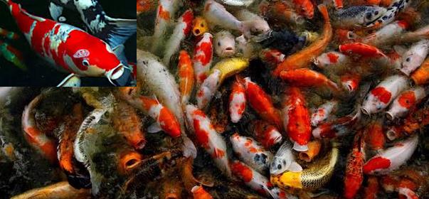 Cara Membedakan antara Ikan Koi Jantan dan Ikan Koi Betina