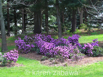 New mauve PJM rhododendrons bloom in Mississauga at BRG Garden.