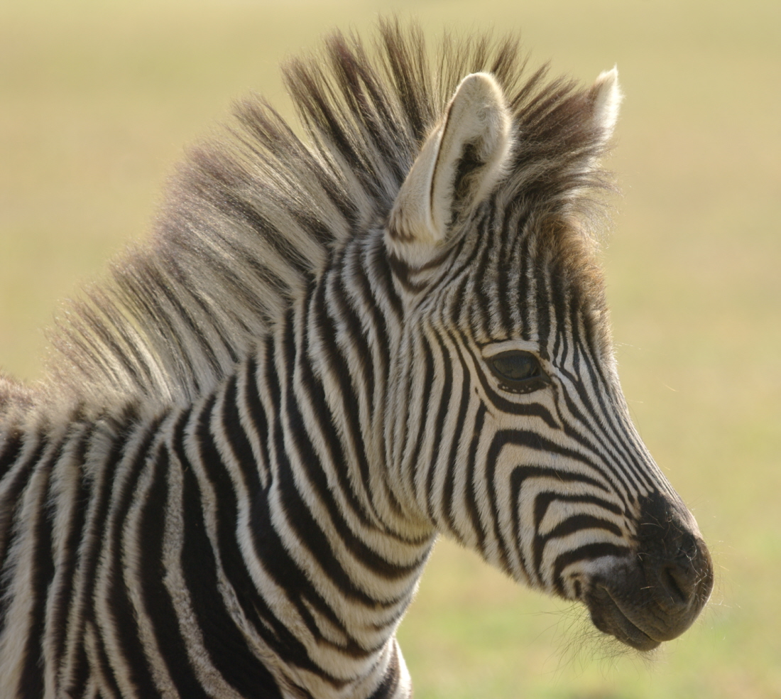 Y is for YELLING when you see Zebra Yelling