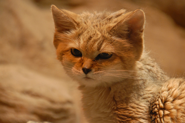 What Do Sand Cats Eat And Drink