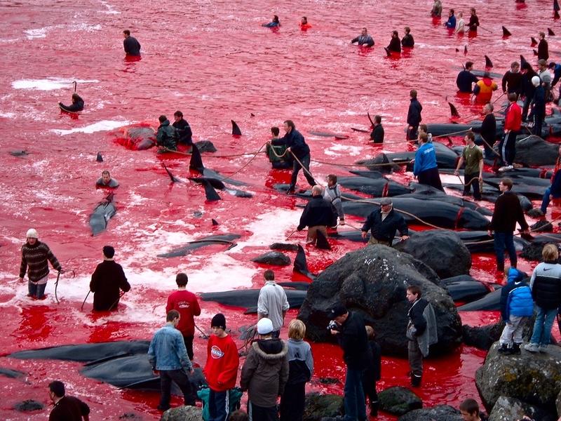 Matanza de ballenas en las Islas Feroe 20