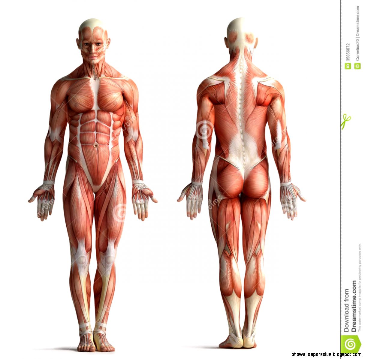 Male Anatomy View Stock Photography   Image 35856872
