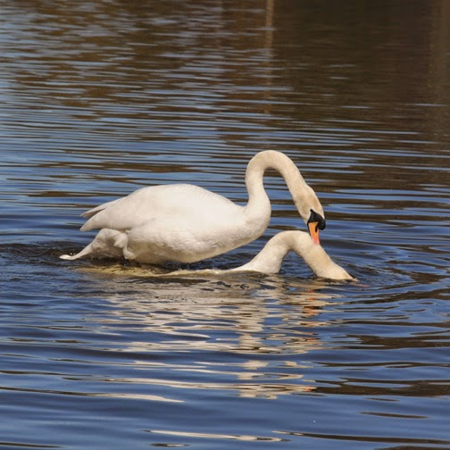 mating mute swans