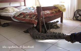 Buaya Menumpang Tidur Di Bawah Katil