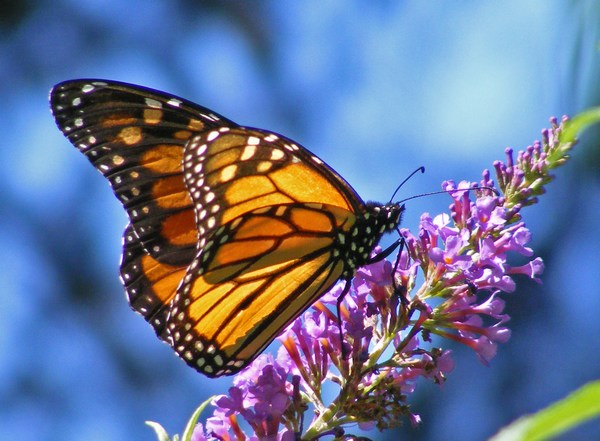 HD Photos of Beautiful Butterfly for Desktop