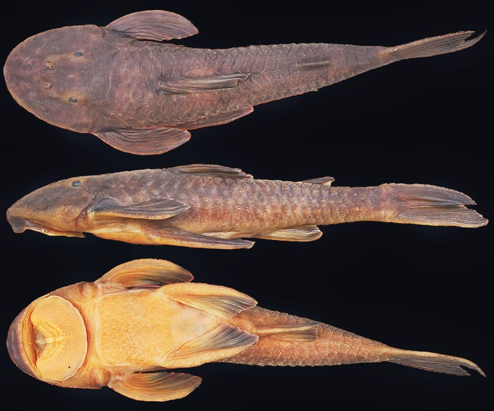 http://sciencythoughts.blogspot.co.uk/2014/09/a-new-species-of-armoured-catfish-from.html