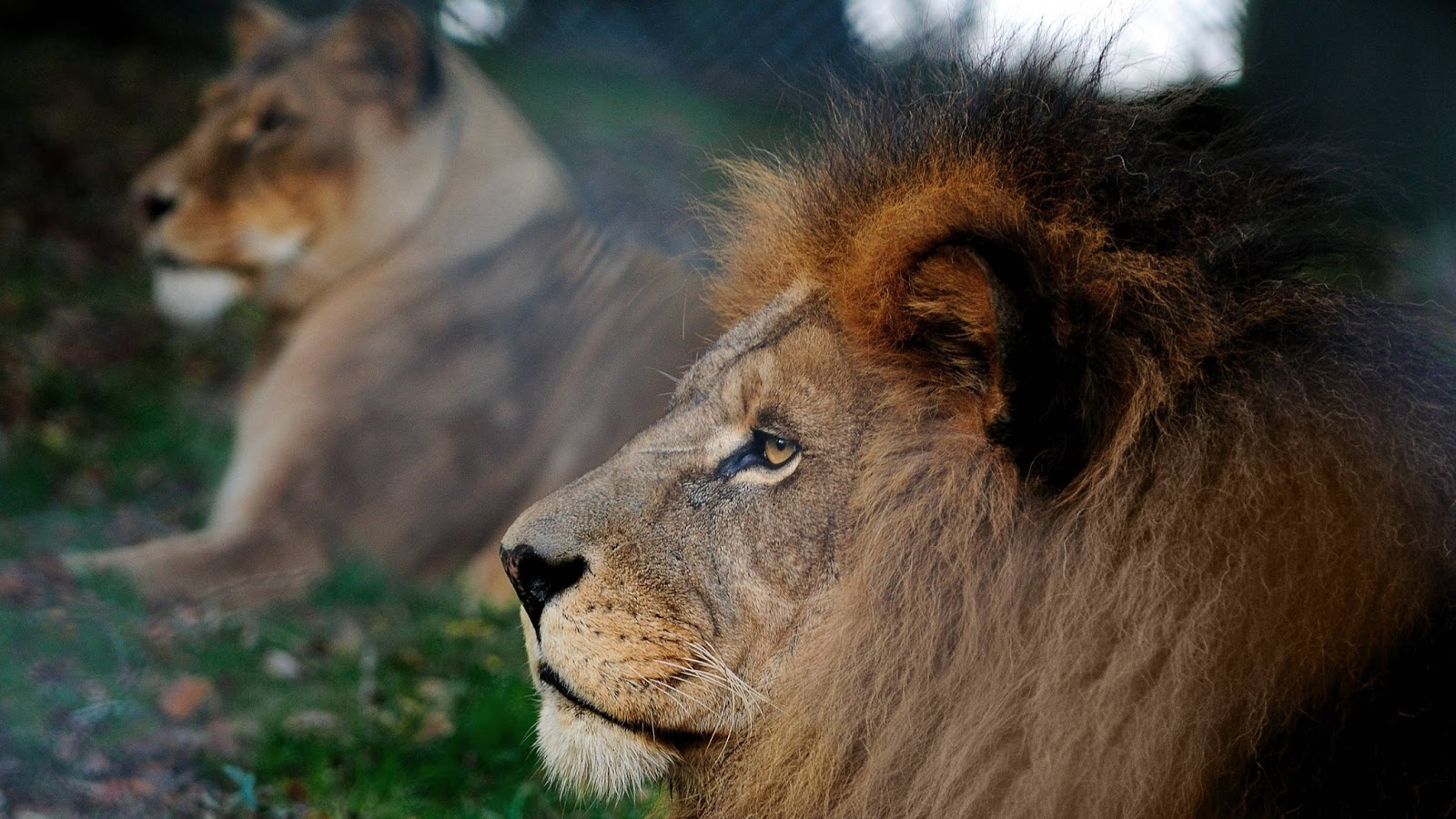 Lions wallpaper hd - photo#16
