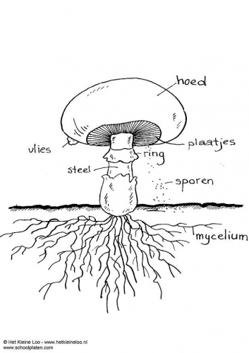 Diagrams of Fungi http://plainhomeschool.blogspot.com/2012/08/science-unit-1-algae-and-fungi.html