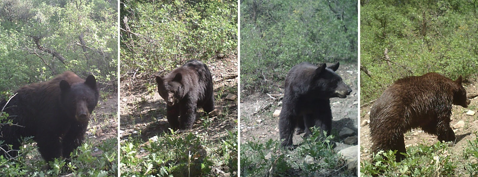 Black Bear Head Deer
