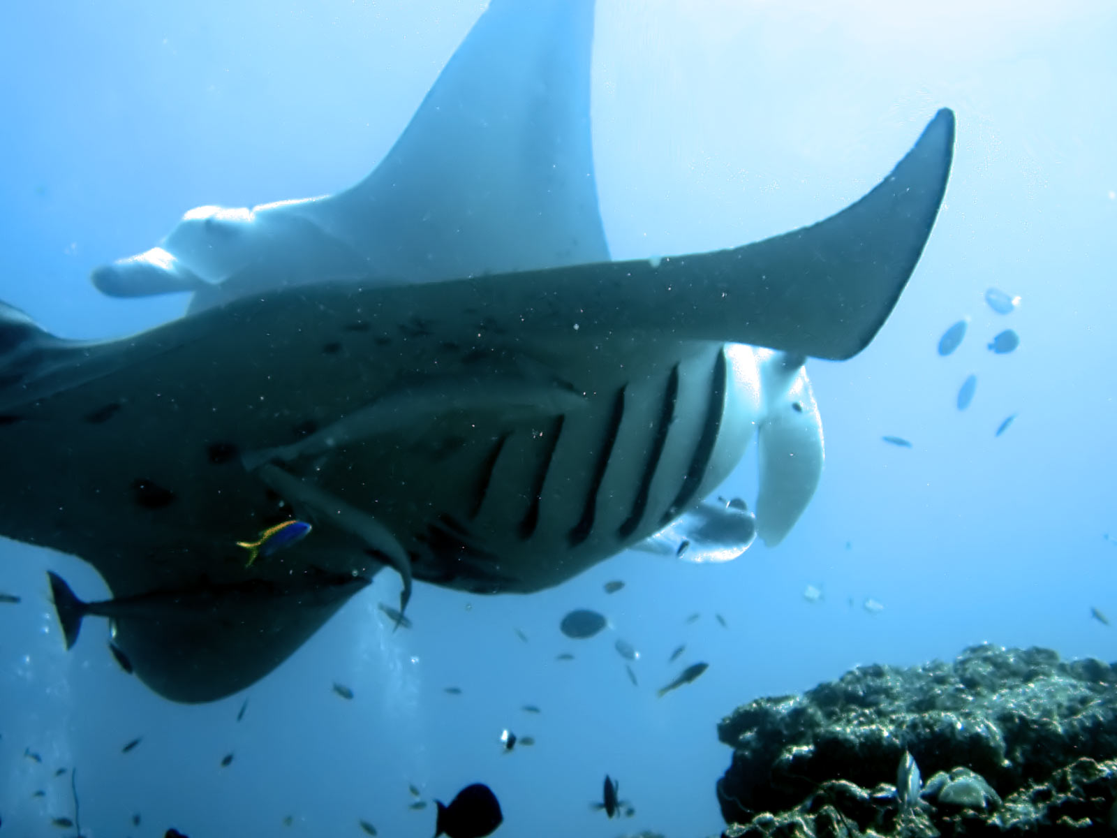 manta rays pictures