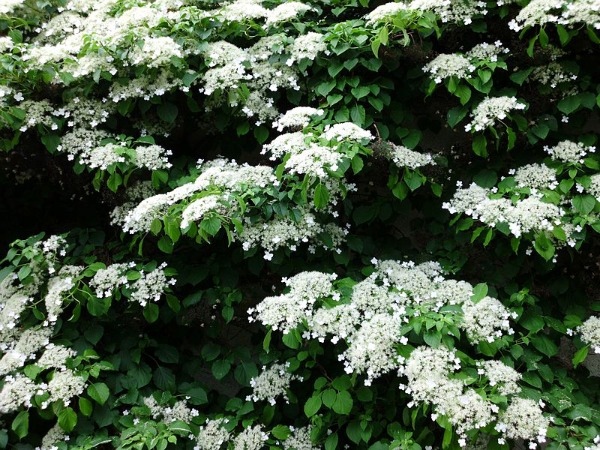 Plantas trepadoras para sombra guia de jardin aprende a - Plantas de sombra exterior ...