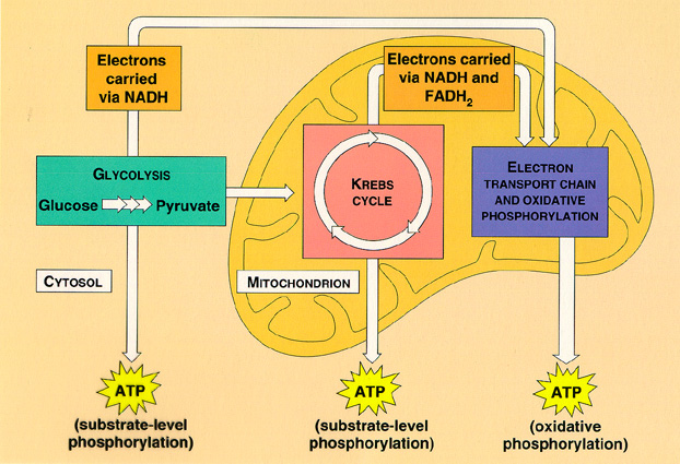 Significance of cellular respiration photosynthesis cellular i found another diagram that i thought would be helpful as you read the significance of my process cellular respiration ccuart Choice Image