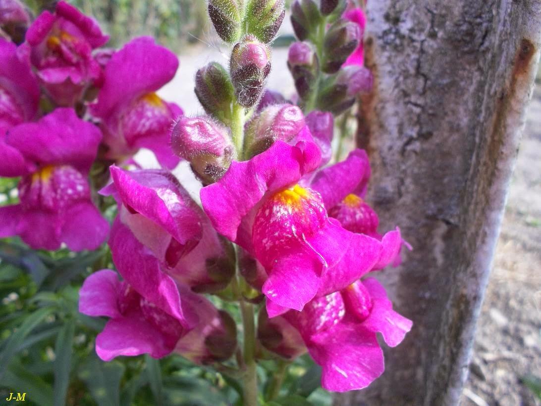 Mon jardin en moselle des fleurs au potager - Fleur gueule de loup ...
