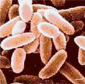 Bacillus Anthracis, Anthrax Bacteria