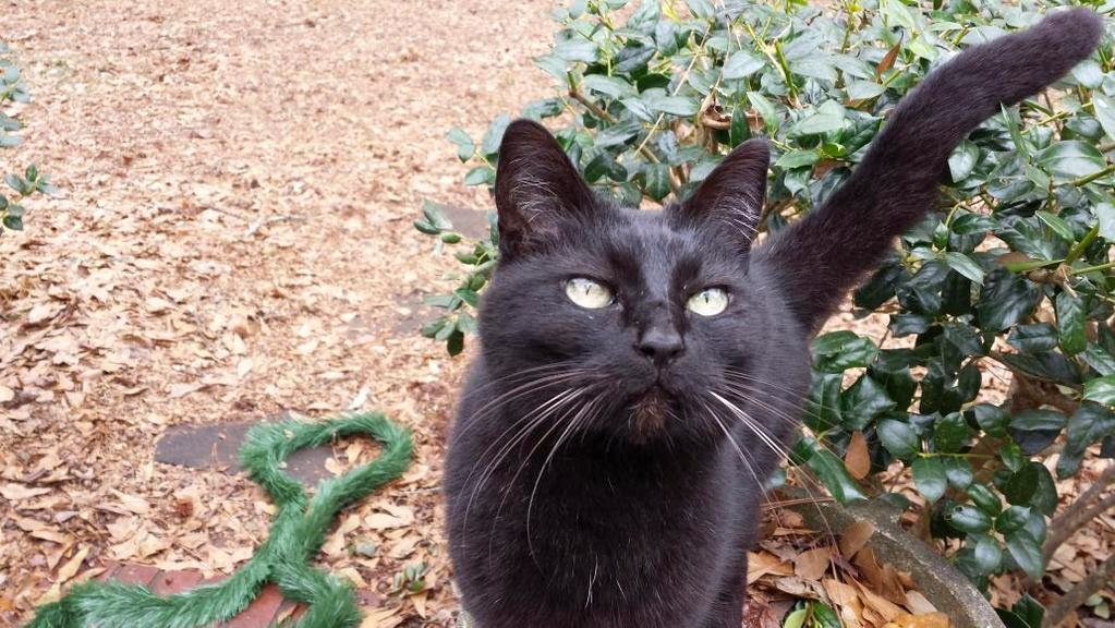 Return Of My Amira Owly 3sM93s Want Her Home Safe And Sound Atlanta Buckhead Lost Black Cat Green Eyeslost Near Chastain Park Reward