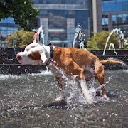 A rednose pitbull dog cools himself in the columbus circle fountain during .